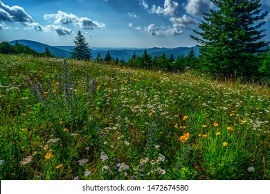 Summer flowers blow in the cooling breeze at the Big Spruce Overlook along the Highland Scenic Highway, a National Scenic Byway, Pocahontas County, West Virginia, USA
