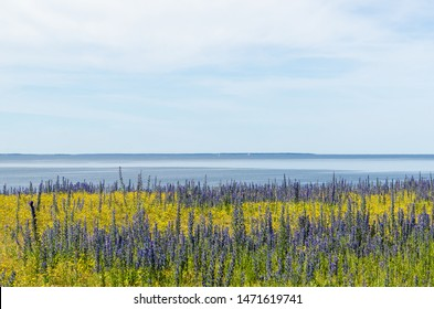 Summer flowers in blue and yellow colors by the coast of the Baltic Sea at the island Oland in Sweden