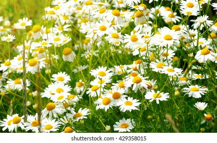 summer flowers camomile blossoms on meadow