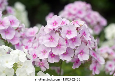 Summer flowers : Light purple and white Phlox blossom