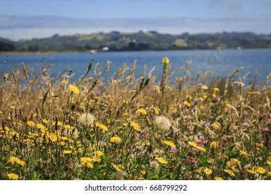 Summer flowers in the meadows near the coast in Chiloe, Chile.