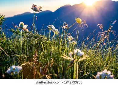 Summer Flowers on the Stanserhorn (Switzerland)