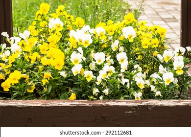 Summer flowers pansies in the garden by the wooden fence, floral backgrounds