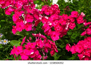 Summer flowers. Pink phlox blooming background