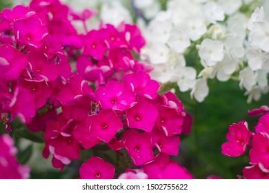 Summer flowers : purple and white Phlox blossom