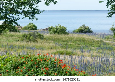 Summer flowers in red and blue by the coast of the Baltic Sea at the island Oland in Sweden
