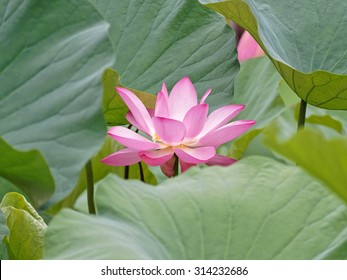 Summer flowers series, beautiful pink lotus flower partly hided by its leaves