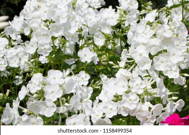 Summer flowers. white phlox blooming background