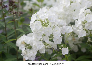 Summer flowers : white Phlox blossom