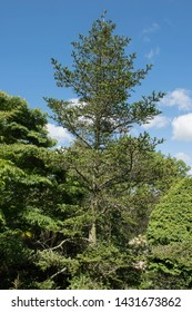 Summer Foliage and Black Cone of a Forrest's Fir Tree (Abies forrestii) in a Woodland Garden in Rural Devon, England, UK