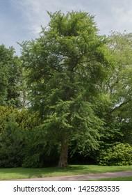 Summer Foliage of a maidenhair Tree (Ginkgo biloba) in a Garden in Rural Somerset, England, UK