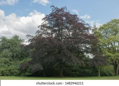 Summer Foliage of a Purple Leaved Copper Beech Tree (Fagus sylvatica f. purpurea) in a Garden in Rural Cheshire, England, UK