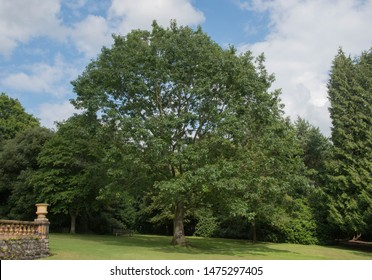 Summer Foliage of a Red Oak Tree (Quercus rubra) in a Park in Rural Cheshire, England, UK