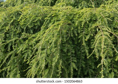 Summer Foliage of a Weeping Eastern Hemlock Tree (Tsuga canadensis 'Pendula') in a Rockery Garden in Rural West Sussex, England, UK