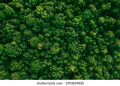 Summer in forest aerial top view. Mixed forest, green deciduous trees. Soft light in countryside woodland or park. Drone shoot above colorful green texture in nature