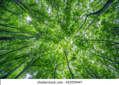 Summer Forest Canopy Nature Photo Background. Forestry.