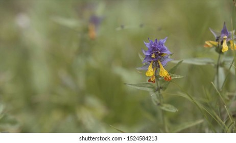 Summer forest flowers, yellow and purple beautiful cow-wheat Melampyrum nemorosum . Stock footage. Picturesque blooming flower in the summer sunny field.