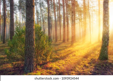 Summer forest landscape with bright warm sunlight through trees. Yellow colours in majestic beautiful forest in sunny morning. Sun rays in forest nature. Scenic woodland glowing sunbeams