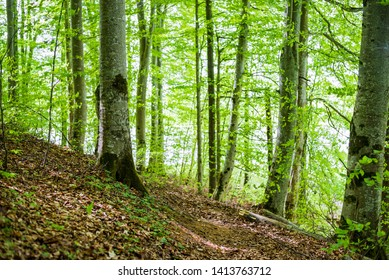 Summer forest landscape. Green beech forest, trees closeup. Germany