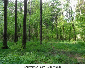 Summer forest. Nature of Eastern Europe in June. Beautiful flora of Europe
