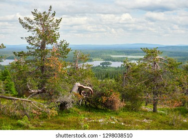 Summer forest view at Rukatunturi, a fell and a ski resort in Kuusamo, Finland.  Peaceful evergreen trees in the clean and green nature landscape of Finnish Lapland. - Shutterstock ID 1298038510