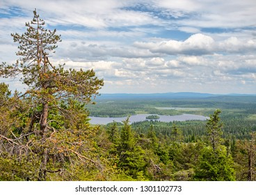 Summer forest view at Rukatunturi, a fell and a ski resort in Kuusamo, Finland.  Peaceful evergreen tree in the clean and green nature landscape of Finnish Lapland.