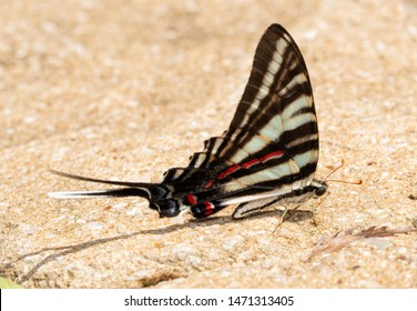 Summer form of Zebra Swallowtail butterfly resting on ground getting ready to get minerals for nutrition