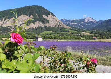 Paysage français d'été. Champ de lavande, montagnes et roses. Département de la Drome Provençale