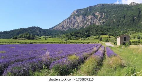 Paysage français d'été. Champ de lavande, montagnes et vignobles. Département de la Drome Provençale. Panorama