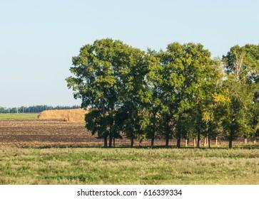 Summer in the freshly plowed field, straw in stacks, poplars