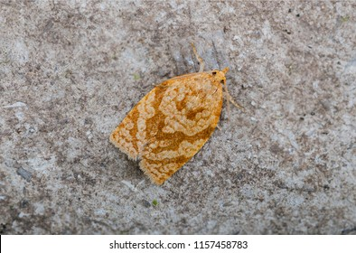 Summer Fruit Tortrix moth (Adoxophyes orana). Sitting on a rock.