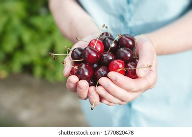Рeople, summer, fruits hand berries concept - female hand full of red cherries. Fresh Cherry Harvest