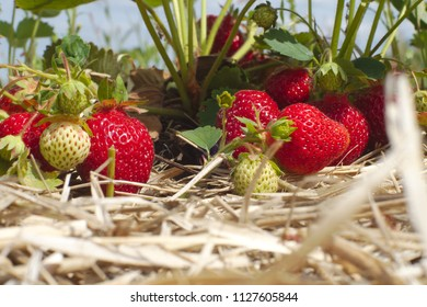 summer fruits organic strawberry field straw agriculture