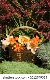 Summer garden decoration. A wicker basket with colorful daylilies. A bush of red leaf burberry as a background.