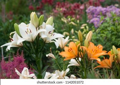 Summer garden flowers lilium