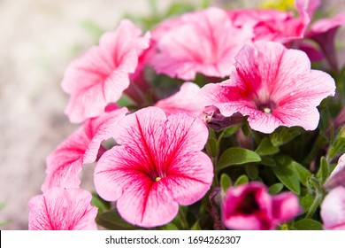 Summer garden. Pink Petunia petunia flower (Petunia Hybrida). Close up