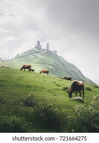 Summer Georgia: Kazbegi church (Stepantsminda area) in the morning, green landscape with beautiful cows and church in the morning mist on a background. Vertical landscape