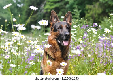 Summer a German shepherd sitting in the flowers of chamomile. Around the field and flowers, white, purple, forest in summer