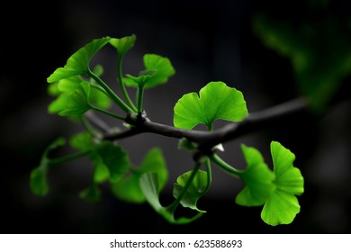 Summer ginkgo green leisurely