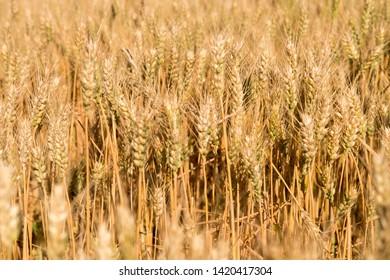Summer golden ears of Wheat