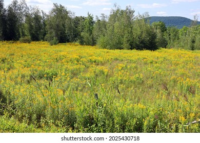 Summer goldenrod and firtrees landscape Quebec Canada