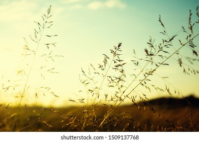 Summer is gone concept, poa pratensis commonly known as kentucky bluegrass, dry grass swinging on the wind against the setting sun
