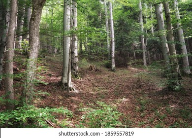 Summer in the Gorce, beech forest on the hillside, landscape with tree trunks