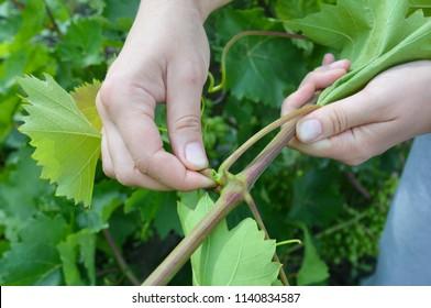 Summer grapes pruning. Gardener prune grapes. Pruning, hedging & leaf removal.
