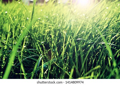 Summer grass background - closeup of fresh bright green grass on the lawn lit by shining sunbeams. Grass landscape, lowest point of shooting