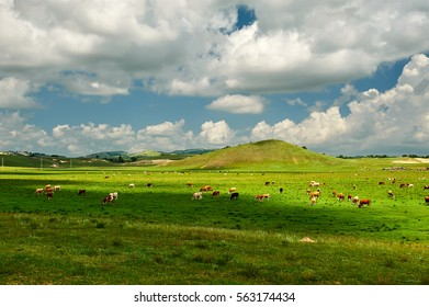 The summer grasslands of cattle and sheep of Wulanbutong.The photo was taken in Hexigten Banner Chifeng city of  the Nei Monggol Autonomous Region,China.