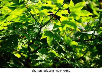 Summer green Maple