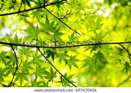 https://image.shutterstock.com/image-photo/summer-green-maple-450w-695470606.jpg