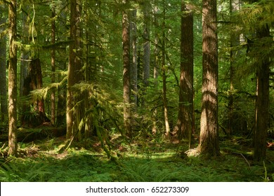 Summer green Oregon forest with large fir trees.