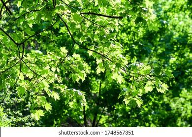 Summer green tree foliage background. Summer foliage green sun rays - Shutterstock ID 1748567351